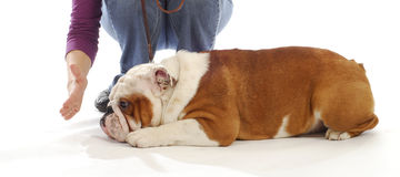 Obedience training. English bulldog being taught to down and stay by handler on white background Stock Image