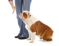 Obedience training dog. Hand of person giving the stay command to english bulldog on white background Royalty Free Stock Photography