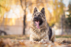 Obedience training with German shepherd Royalty Free Stock Photo