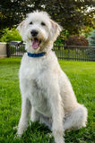 Obedience White Labradoodle Stock Photos