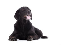 Obedienced labrador. Happy dog photographed in the studio on a white background stock image