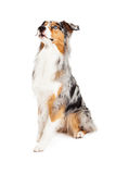 Obedient and Alert Australian Shepherd Dog Sitting Royalty Free Stock Photography
