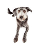 Obedient Attentive Terrier Crossbreed Dog Laying Stock Photos