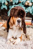 Funny beagle dog wearing hat with ear flaps near Cristmas tree. Funny beagle dog in hat with ear flaps lies on the fur carpet near Cristmas tree Royalty Free Stock Image