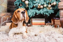 Obedient beagle dog waiting for gifts on the fur carpet near Cristmas tree. stock photos