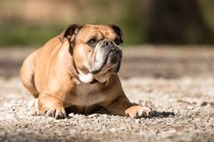 Continental Bulldog dog is lying in the forest in front of blurred background royalty free stock image