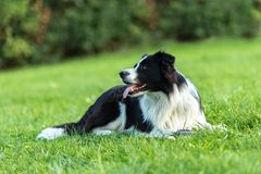 Obedient Corder Collie is lying in a park on the floor stock photo