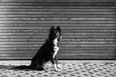 Obedient curious dog. Black and white photography of an Attentive an curious dog portrait against wooden background Royalty Free Stock Images