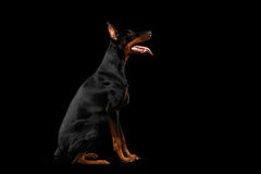 Obedient Doberman Pinscher Dog Sitting and Looking up, isolated Black Royalty Free Stock Image