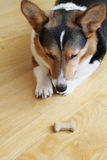 Obedient Dog. An obedient Pembroke Welsh Corgi waiting on command to eat the treat royalty free stock images