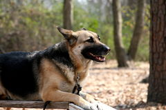 Obedient Dog. German Shepherd dog training to be a service animal royalty free stock image