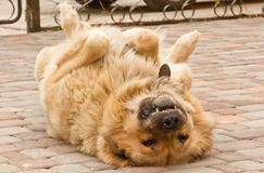 Obedient dog Stock Images