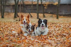 Obedient dog breed border collie. Portrait, autumn, nature, tricks, training Royalty Free Stock Photo