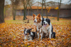 Obedient dog breed border collie. Portrait, autumn, nature, tricks, training Stock Photography