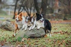 Obedient dog breed border collie. Portrait, autumn, nature, tricks, training Stock Image