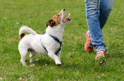 Obedient dog doing walking exercise with owner. Jack Russell Terrier training to walk with a handler Stock Images