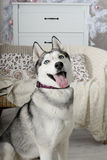 Obedient dog funny husky Royalty Free Stock Image