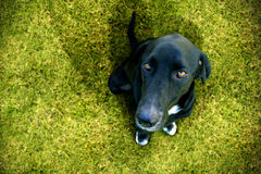 Obedient dog looking up. On a green meadow Royalty Free Stock Photography