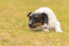 Jack Russell Terrier male. Dog lies with his head on the ground. Obedient dog is lying alone on the floor in a green meadow and looks forward royalty free stock image