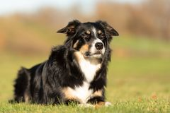 Obedient dog is lying in a meadow and is looking forwards royalty free stock images