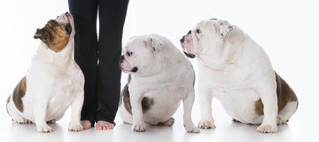 Obedient dog and owner Stock Images