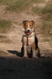 Fox terrier. Royalty Free Stock Image