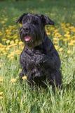 Obedient Giant Black Schnauzer Dog. Vertically. Stock Photo