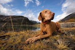 Obedient golden colour vizsla dog outdoors Stock Images