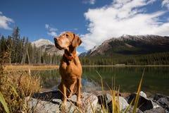 Obedient golden colour vizsla dog sitting by a mountain lake Stock Photos