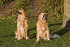 Obedient Golden Retrieve Dogs Royalty Free Stock Photos