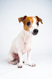 Obedient Jack Russell Terrier. Photograph of a Jack Russell Terrier looking off camera Stock Photo