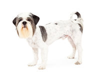 Obedient Lhasa Apso Dog Standing Sideways Royalty Free Stock Photo