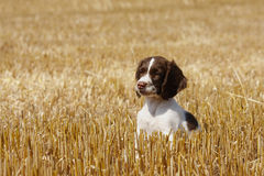 Obedient Little puppy Stock Image