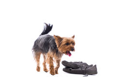Obedient little Yorkshire terrier Stock Photography