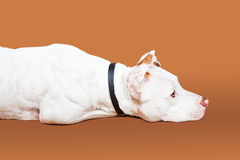 Obedient Patient Dog Laying Down Royalty Free Stock Photography
