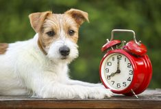 Obedient pet training - smart happy puppy. Obedient pet training - smart happy jack russell puppy lying with an alarm clock royalty free stock photo