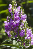 Obedient Plant - Physostegia virginiana Stock Photography