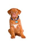 Obedient Puppy Stock Image