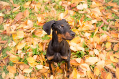 Obedient puppy purebred doberman Royalty Free Stock Photos