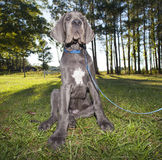 Obedient puppy Royalty Free Stock Images