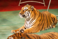 Obedient tiger Royalty Free Stock Photography