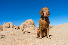 Obedient vizsla dog sittig outdoors in joshua tree national park Royalty Free Stock Photo
