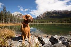 Obedient vizsla dog sitting by mountain lake Royalty Free Stock Photos