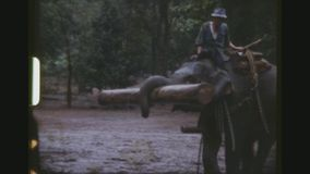 Obedient working elephants. Thailand, chiang mai province, december 1983. Three shot sequence of mahouts riding elephants rolling, lifting and carrying heavy stock video footage