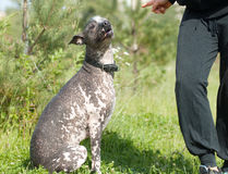 Obedient xoloitzcuintli Royalty Free Stock Photography