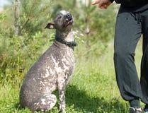 Obedient xoloitzcuintli Royalty Free Stock Photography