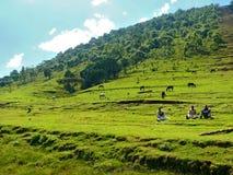 Obekanta manliga hästar betar i beta i Finote Silam, Etiopien - November 24, 2008. Royaltyfri Fotografi