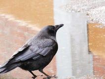 Oben-Abschluss-Krähe in der regnerischen Pfütze lizenzfreie stockfotos