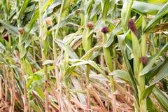 Oben geschlossen vom organischen Mais archivierte Hintergrund lizenzfreie stockfotos