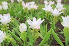 Oben geschlossen von blühender weißer Krachai-Blume Siam-Tulpe im Sommergarten stockbild